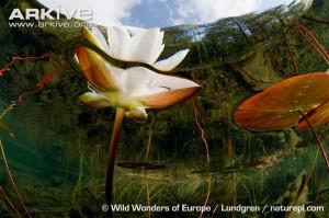 ดอกบัวจีน-บัวพ้นน้ำ